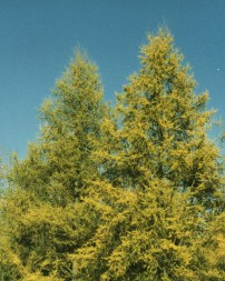 Eastern Larch (Tamarack)