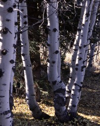 Trembling (Quaking) Aspen